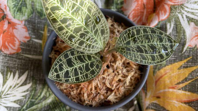 【観葉植物の宝石】初心者でも育てやすいジュエルオーキッドの魅力や育て方